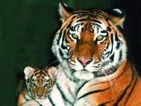 Наступивший Год Тигра Всемирный фонд дикой природы (WWF) отметил с призывом о защите российского амурского тигра. Акция WWF «Поздравь тигра с его годом» приобрела всероссийский масштаб: дети рисовали открытки и писали свои пожелания